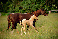 Mare and foal running in field of grass, Missouri USA