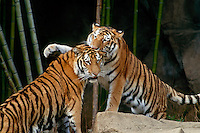 It might be play: Two SIberian tigers grooming and socializing