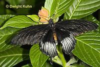 LE45-522z  Great Mormon Swallowtail Butterfly, Male, Papilio memnon, Southeast Asia
