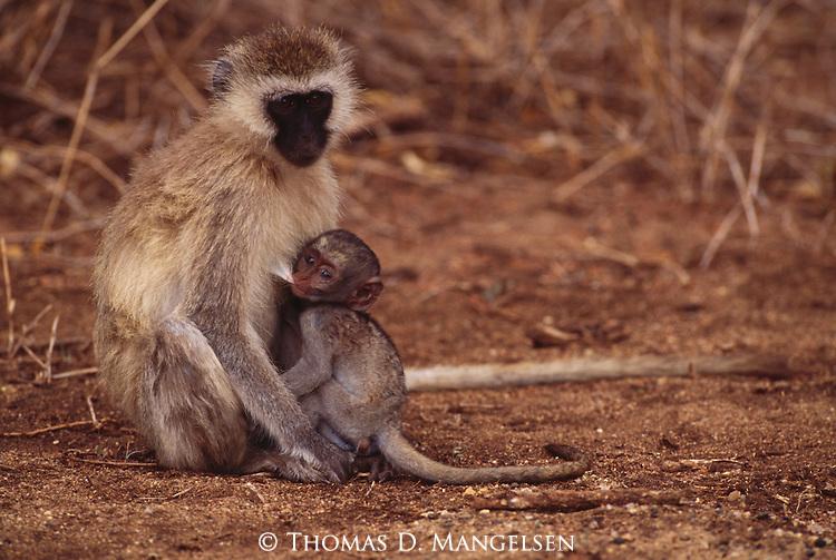 A vervet monkey nurses her baby in Lake Manyara National Park, Tanzania.