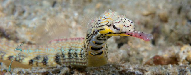 Network Pipefish , Corythoichthys flavofasciatus, Anilao