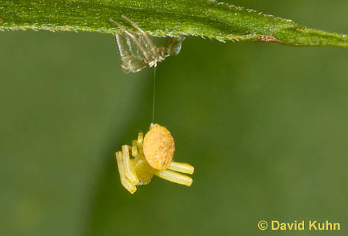 0818-0902  Young Crab Spider in Virginia Hanging by Spider Thread and Molting to Next Instar, Misumenops spp. © David Kuhn/Dwight Kuhn Photography.