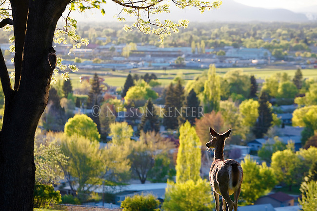 A whitetail doe looks out over the Missoula Valley from the south hills.