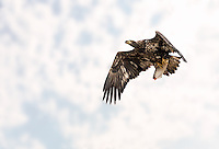 Juvenile Bald Eagle in flight with fish against soft clouds