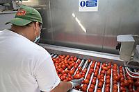 ITALY, Parma, tomato canning company Mutti s.p.a., founded 1899, fresh havested plum tomatoes are processed and conserved as passata direct on the field at the Mutti Insta factory, a mobile conserving unit / ITALIEN, Parma, Basilicanova,Tomatenkonservenhersteller Firma Mutti spa, die frisch geernteten Flaschentomaten werden direkt auf dem Feld in der Insta Factory, einer mobilen Konservierungsanlage, zu Passata verarbeitet, Sortiereinheit