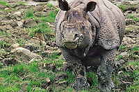 Greater Indian Rhinoceros or Asian One-horned Rhinoceros (Rhinoceros unicornis) bull, Kaziranga National Park, India.