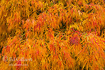 Detail, Japanese Maple, Laceleaf, Acer Palmatum, Fern Canyon Garden, Mill Valley, California