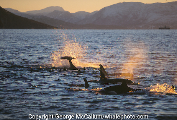 Killer whale  ( Orcinus orca ) family pod feeding on herring Just below the surface .