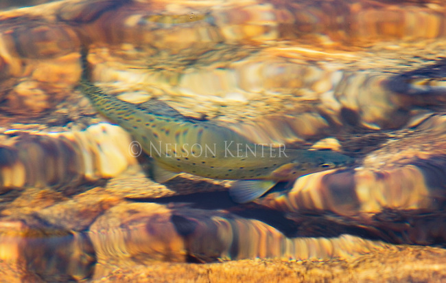 Artistic photo of a cutthroat trout