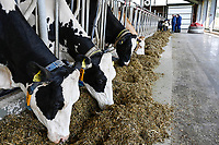 GERMANY, Echem, smart dairy cow milk farm, digitalization of agriculture, milk cows in stable, cows wearing collar with sensor and reporting chips for robot milking, behind fodder slider robot / DEUTSCHLAND, Landwirtschaftlichen Bildungszentrum (EBZ) in Echem, Digitalisierung im Kuhstall und Melkstand, Milchkühe tragen Sensoren und Melder für den Melkroboter, Futterschieber Roboter LELY JUNO