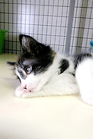 Lynn Atkins/The Weekly Vista<br /> Skipper is an 11 week old kitten who is affectionate and playful. He is a neutered male, Bella Vista Animal Shelter staff said. To adopt any of the dogs or cats at the shelter, visit 32 Bella Vista Way or call 479-855-6020.