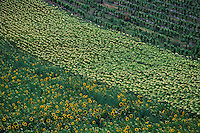 Sunflower fields near the town of Lussan, Provence, France