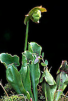 CA01-036b  Pitcher Plants - flowers, carnivorous plant- Sarracenia purpurea