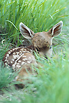 Black-tailed or mule deer fawn, Olympic National Park, Washington, USA