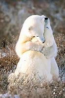 Polar Bears fighting Ursus maritimus Churchill, Manitoba, Canada, polar bear, Ursus maritimus
