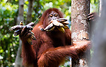 Orangutan with a mouth full of bananas by Leighton Lum