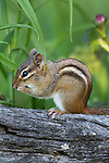 Eastern Chipmunk