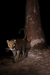 African Leopard (Panthera pardus) female at scent-marking spray-tree at night, Kafue National Park, Zambia