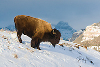 Bison Yellowstone bison Photography