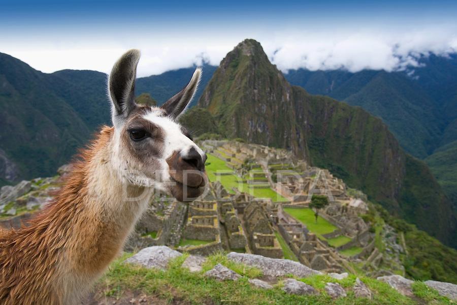 A llama at the ancient Inca ruins of Machu Picchu, Peru.