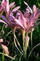 Herbst-Zeitlose, Herbstzeitlose, Colchicum autumnale, Colchicum autumnalis, Naked Ladies