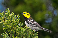 591850040 a wild federally endangered male golden-cheeked warbler setophaga chrysoparia - was dendroica chrysoparia - perches in a fir tree in the texas hill country texas united states
