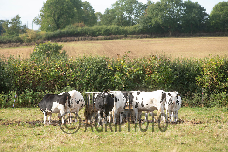 4-10-2021 Dairy heifers gathers round a ring feeder  <br /> ©Tim Scrivener Photographer 07850 303986<br />      ....Covering Agriculture In The UK....