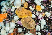sea lemon, Peltodoris nobilis, courtship behavior, Browning Pass, British Columbia, Canada, Pacific Ocean, Pacific Ocean