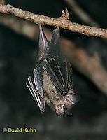 0723-0803  Seba's Short-tailed Bat, Carollia perspicillata © David Kuhn/Dwight Kuhn Photography