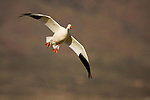Snow Goose (Chen caerulescens) landing, Bosque del Apache National Wildlife Refuge, New Mexico