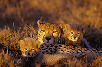 Cheetah (Acinonyx jubatus) mother and young, Masai Mara National Reserve, Kenya.