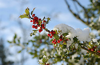 Snow on a holly tree, Whitewell, Lancashire.