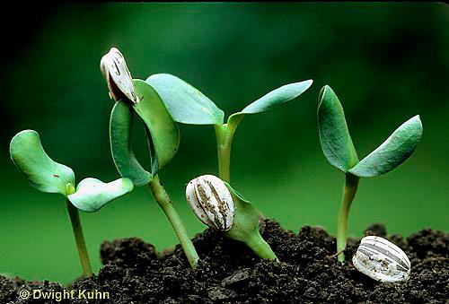 HS13-054g  Sunflower - seedlings emerging from soil - Helianthus spp