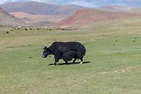 Mongolia, Bayan-Ulgii, Ulgii, yak grazing.