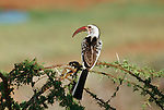 Close-up of perching Red-billed Hornbill.