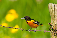 Male Baltimore Oriole on a barbed wire fence waiting to feed.