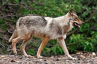 Wolves (Canis lupus) from the Grant Creek pack in Denali National Park, Alaska.