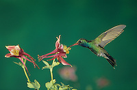 Broad-billed Hummingbird, Cynanthus latirostris, male in flight feeding on columbine, Madera Canyon, Arizona, USA