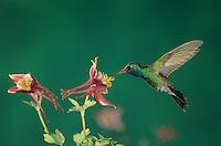 Broad-billed Hummingbird, Cynanthus latirostris, male in flight feeding on columbine, Madera Canyon, Arizona, USA