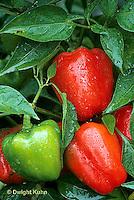 HS41-015c  Pepper - hot pepper,  cherry bomb variety