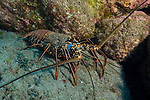 San Benedicto Island, Revillagigedos Islands, Mexico; a blue spiny lobster walking across the rocky reef in the late afternoon
