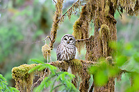 Barred owl (Strix varia)northern barred owl.  Western Washington.  Summer.  Barred owls have been expanding their range into formerly spotted owl territory (old growth forests) in the Pacific Northwest where the two may hybridize together.
