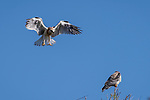 Rose Canyon, San Diego, California; a fledgling white-tailed kite comes in for a landing with its wings spread and talons lowered as one of its two siblings looks on while perched on the top branch of a leafless tree