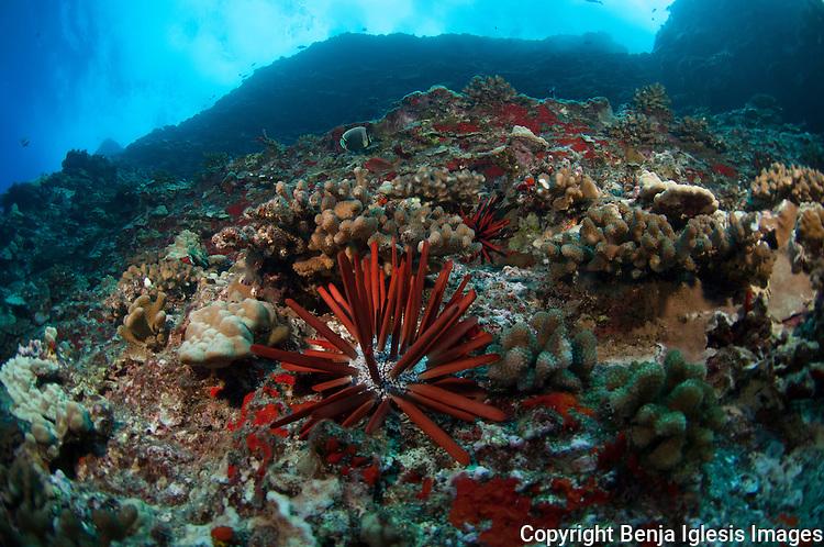 Pencil urchin over coral at the back wall Molokini Maui Hawaii.
