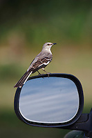 Northern Mockingbird, Mimus polyglottos, adult fighting reflection in car mirror, Willacy County, Rio Grande Valley, Texas, USA, May 2007