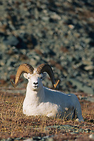 Dall sheep ram rests on a mountain ridge, Alaska mountain range, Denali National Park, Alaska.
