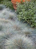 Festuca cinerea (F. glauca ) Blue Fescue Grass silver gray foliage with 'Powis Castle' Artemisia in California garden