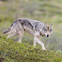 Gray wolf alpha female on the tundra of Denali National park, Interior, Alaska.