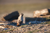 Alaska marmot finds shelter among the rocks along Archimedes ridge, Utukok Uplands, National Petroleum Reserve Alaska, Arctic, Alaska.