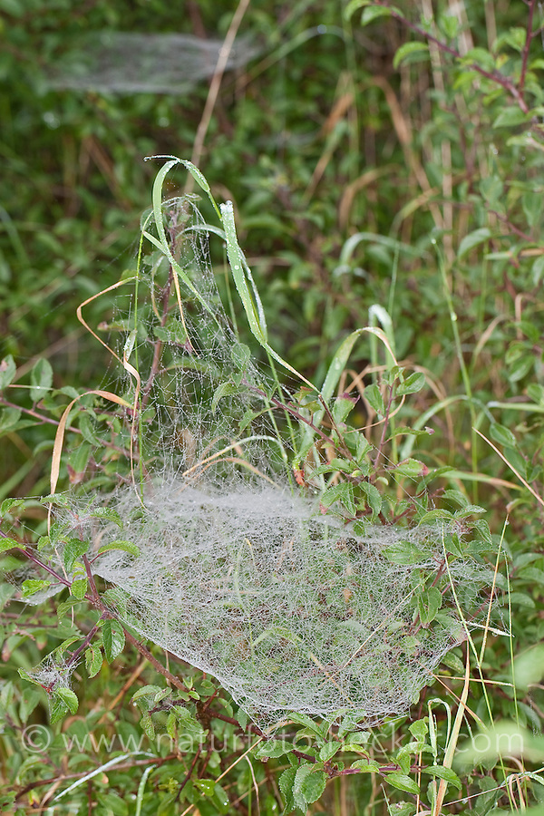 Gemeine Baldachinspinne, Baldachin-Spinne, baldachinförmiges Netz mit Morgentau, Linyphia triangularis, European sheet-web spider, Money Spider, sheet-web weaver, line-weaving spider, line weaver